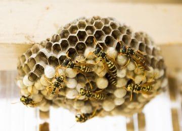 Se débarrasser correctement de nid d'abeilles ou de guêpes