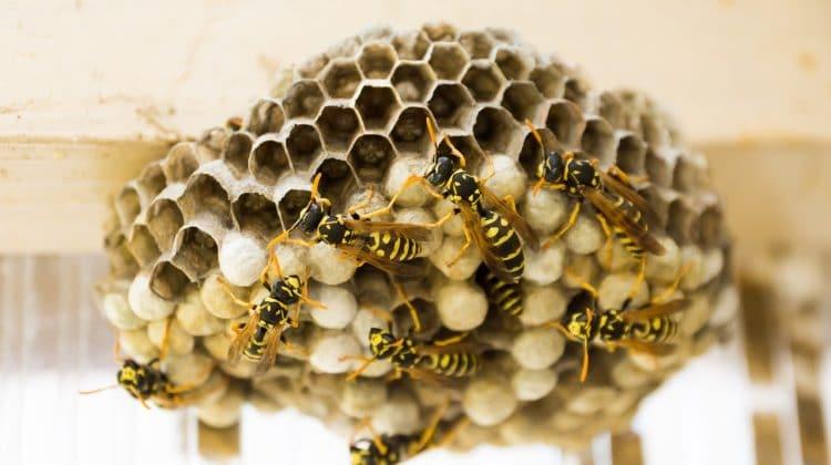 En étant confiné chez vous, vous profitez du soleil dans votre jardin sur votre transat. Tout à coup, des cris perçant perturbent votre petite sieste. Vos enfants accourent, affalés. L'un d'eux se ramène avec une rougeur au bras, accompagnée d'une grosse bosse. Nul doute, c'est une piqure d'insecte. Mais lequel? Identifier l'espèce dont il s'agit […]