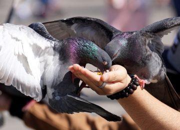 Pourquoi les pigeons sont qualifiés de nuisibles pour votre maison ?