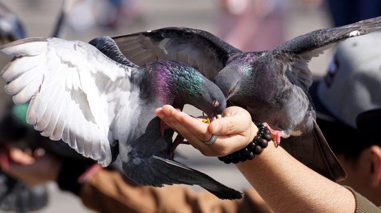 A Paris, la lutte anti-pigeon prend de l'envergure. Si la mairie s'y atèle, c'est que ces volatiles, aussi mignons qu'ils puissent être, sont de véritables nuisances. Alors, si les pigeons font partie de votre vie quotidienne, mieux vaut les tenir loin de chez vous. Les raisons peuvent être pour certaines évidentes mais d'autres restent méconnues. […]